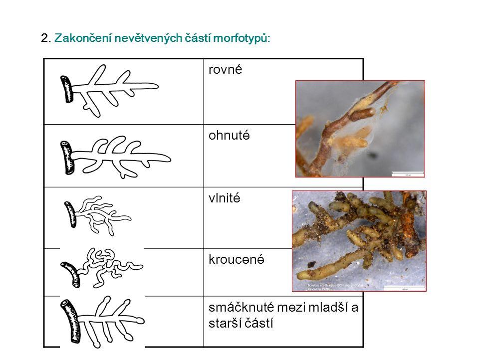 2. Zakončení nevětvených částí morfotypů: rovn é ohnuté vlnité kroucené sm á čknut é mezi mlad ší a star ší č á st í