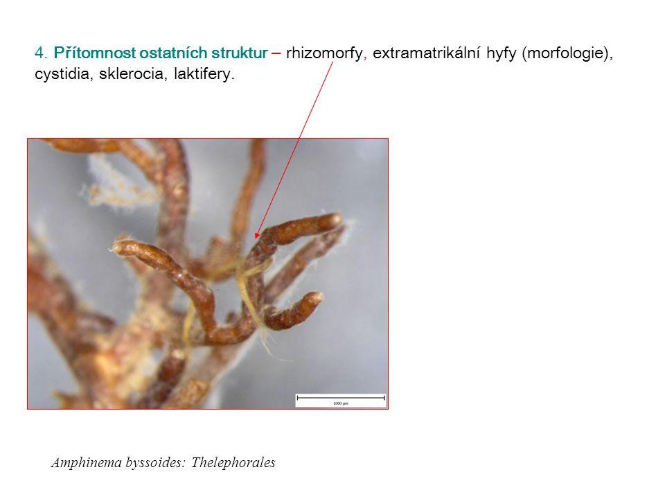 4. Přítomnost ostatních struktur – rhizomorfy, extramatrikální hyfy (morfologie), cystidia, sklerocia, laktifery. Amphinema byssoides: Thelephorales