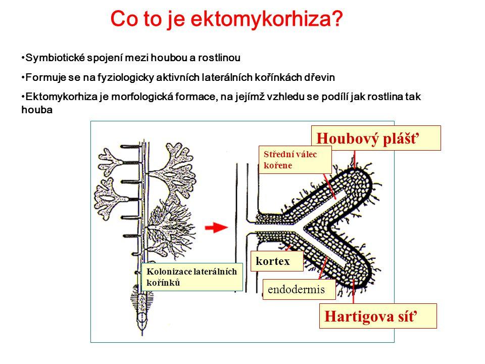 Co to je ektomykorhiza? Symbiotické spojení mezi houbou a rostlinou Formuje se na fyziologicky aktivních laterálních kořínkách dřevin Ektomykorhiza je