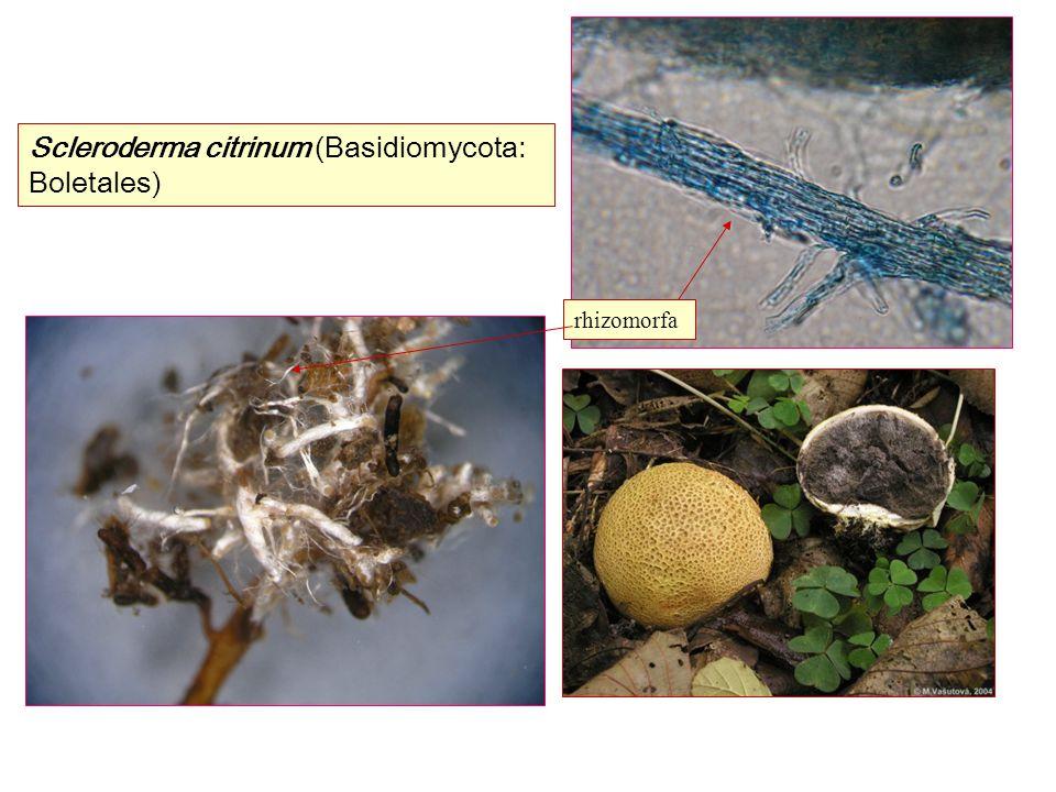 Scleroderma citrinum (Basidiomycota: Boletales) rhizomorfa