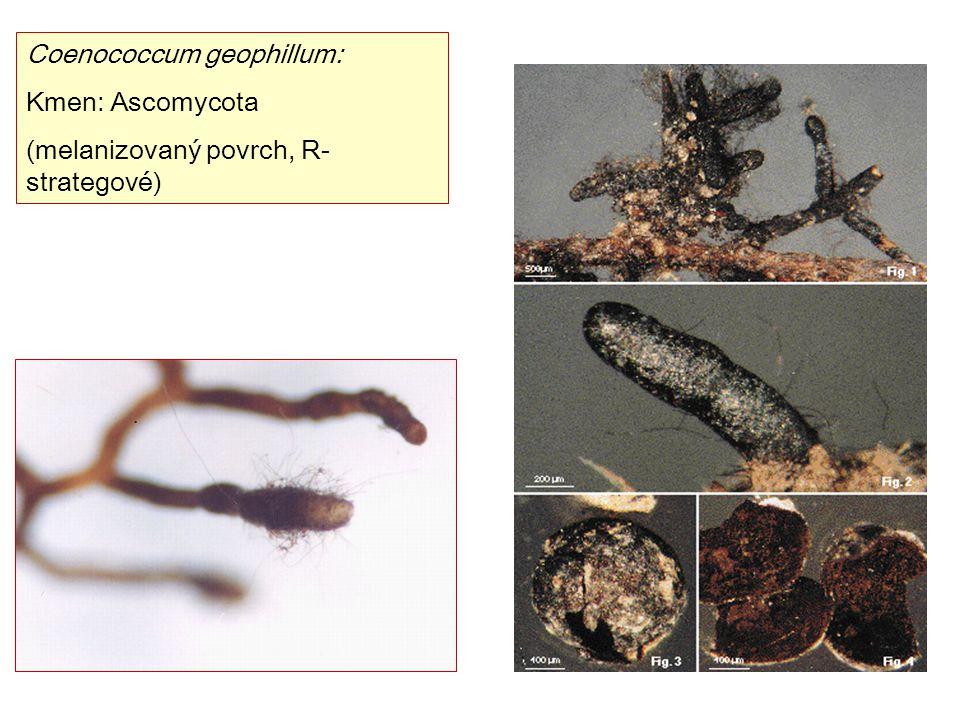 Coenococcum geophillum: Kmen: Ascomycota (melanizovaný povrch, R- strategové)