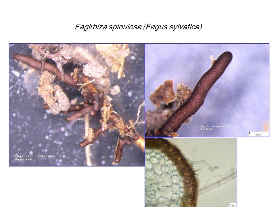 Fagirhiza spinulosa (Fagus sylvatica)