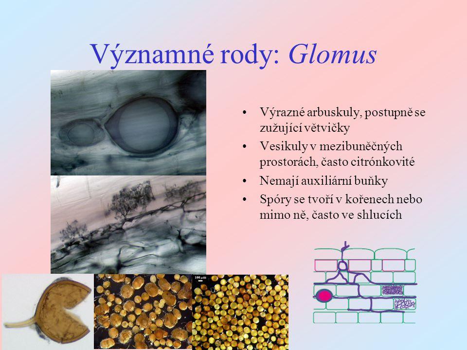 Významné rody: Glomus Výrazné arbuskuly, postupně se zužující větvičky Vesikuly v mezibuněčných prostorách, často citrónkovité Nemají auxiliární buňky