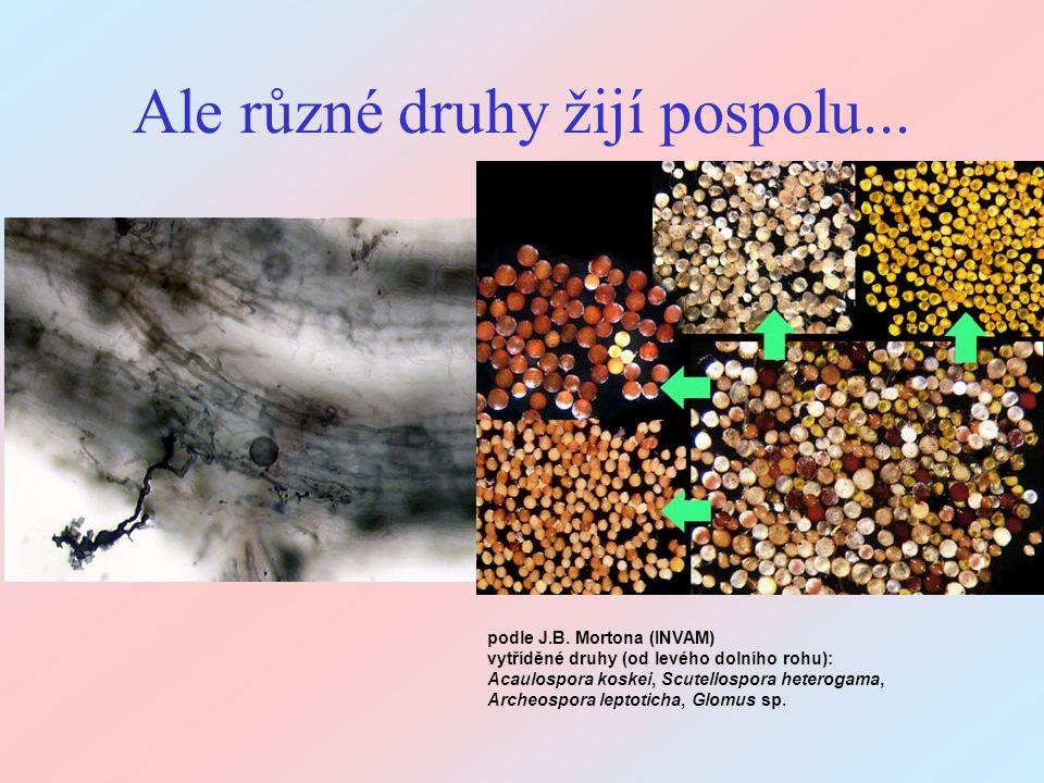 Ale různé druhy žijí pospolu... podle J.B. Mortona (INVAM) vytříděné druhy (od levého dolního rohu): Acaulospora koskei, Scutellospora heterogama, Arc