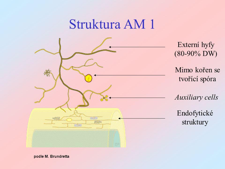 Struktura AM 1 Externí hyfy (80-90% DW) Mimo kořen se tvořící spóra Auxiliary cells Endofytické struktury podle M. Brundretta