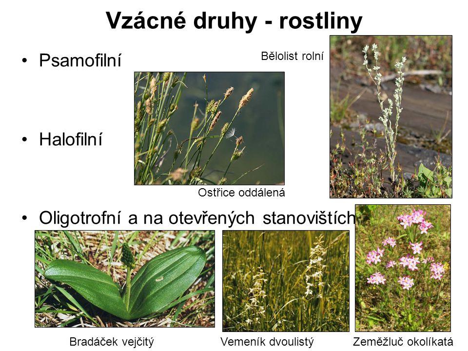 Vzácné druhy - rostliny Psamofilní Halofilní Oligotrofní a na otevřených stanovištích Bělolist rolní Zeměžluč okolíkatáBradáček vejčitýVemeník dvoulis