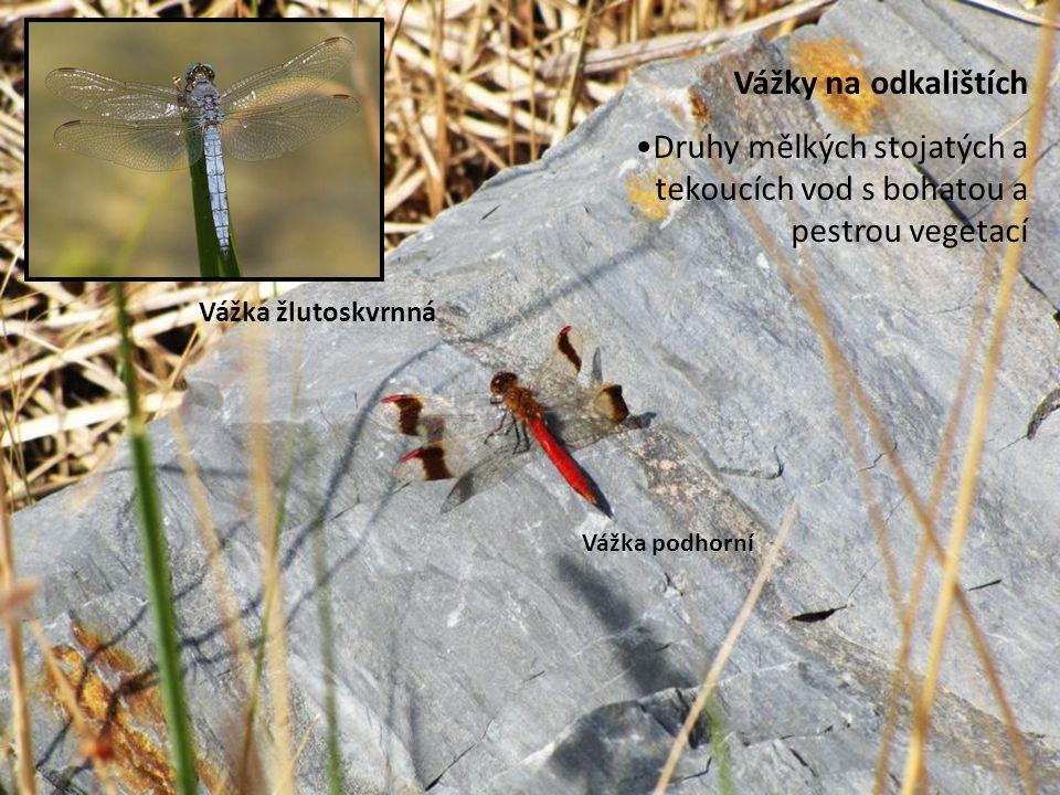 Vážky na odkalištích Druhy mělkých stojatých a tekoucích vod s bohatou a pestrou vegetací Vážka žlutoskvrnná Vážka podhorní