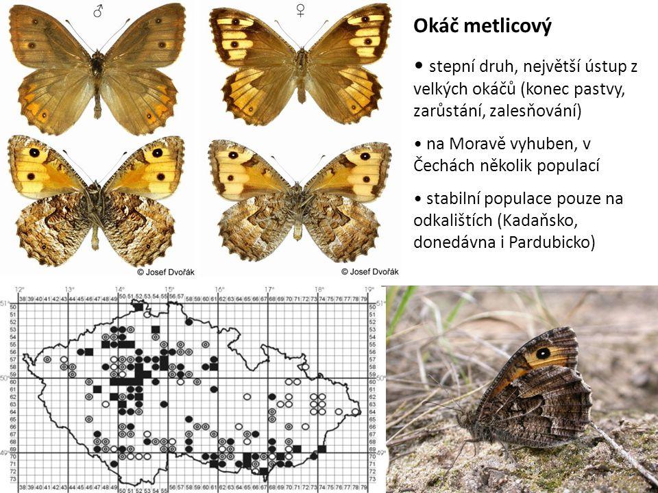 Okáč metlicový stepní druh, největší ústup z velkých okáčů (konec pastvy, zarůstání, zalesňování) na Moravě vyhuben, v Čechách několik populací stabil