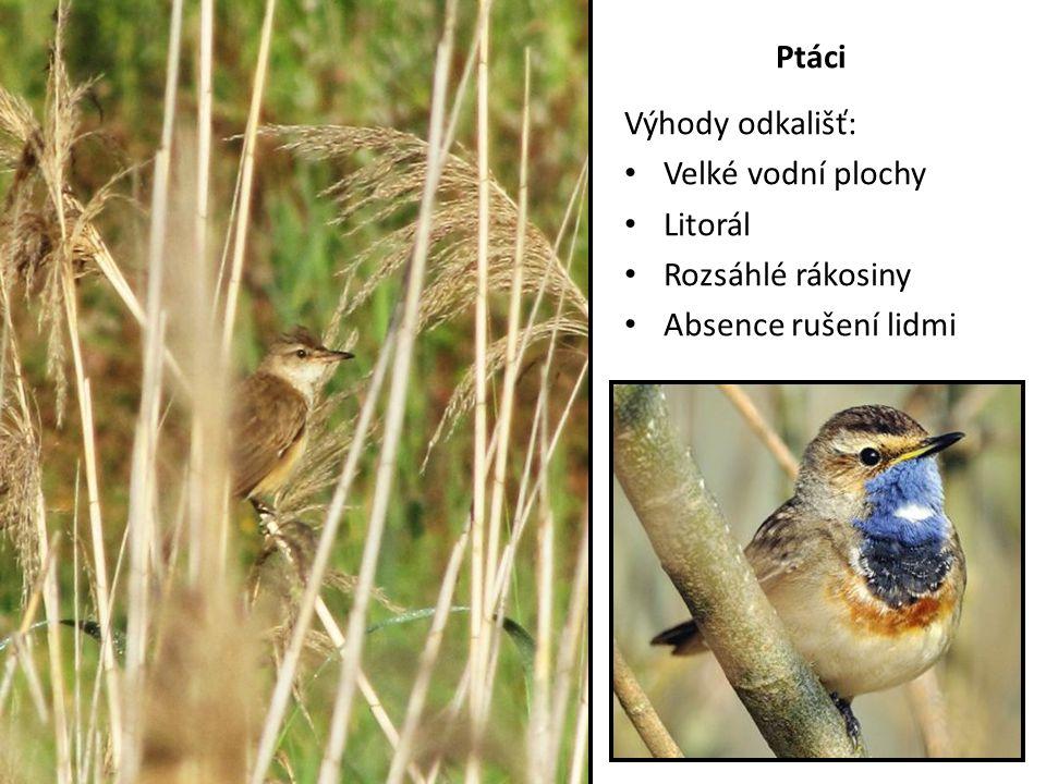 Ptáci Výhody odkališť: Velké vodní plochy Litorál Rozsáhlé rákosiny Absence rušení lidmi