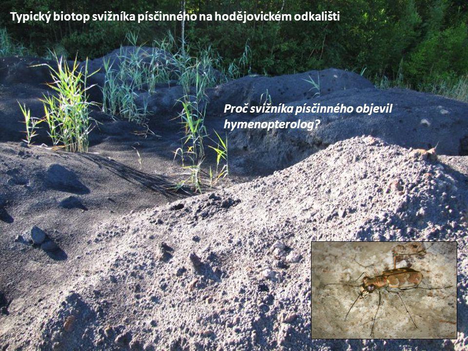 Typický biotop svižníka písčinného na hodějovickém odkališti Proč svižníka písčinného objevil hymenopterolog?