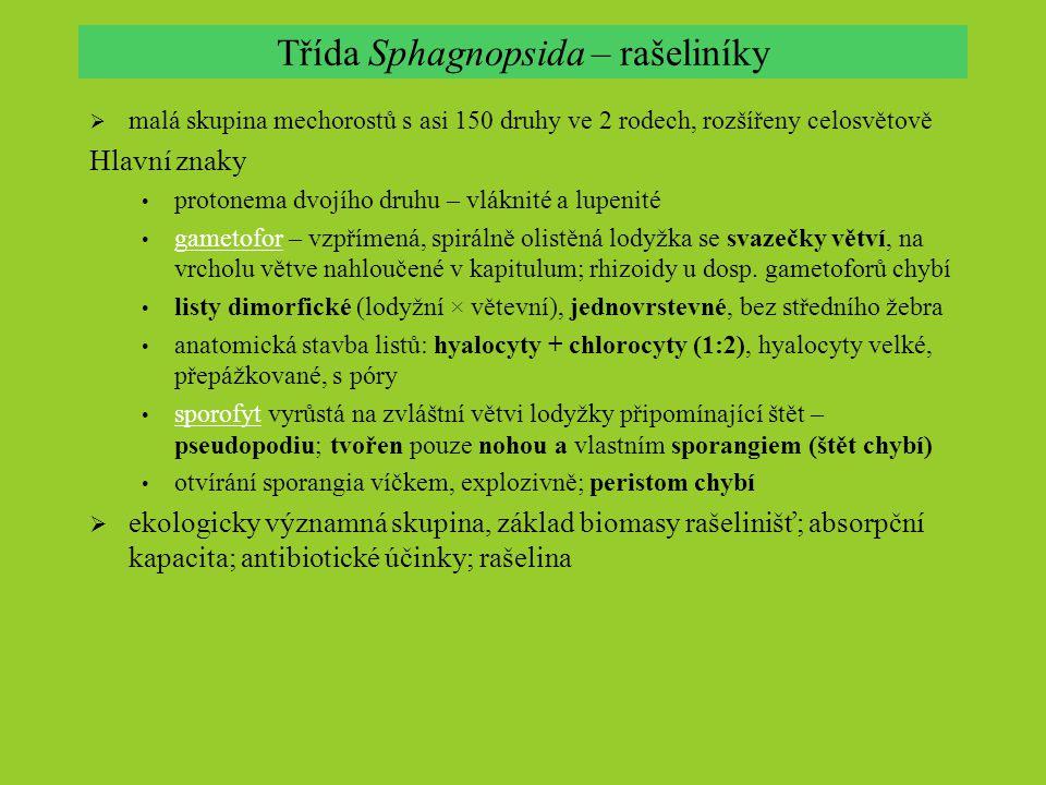 Třída Sphagnopsida – rašeliníky  malá skupina mechorostů s asi 150 druhy ve 2 rodech, rozšířeny celosvětově Hlavní znaky protonema dvojího druhu – vl