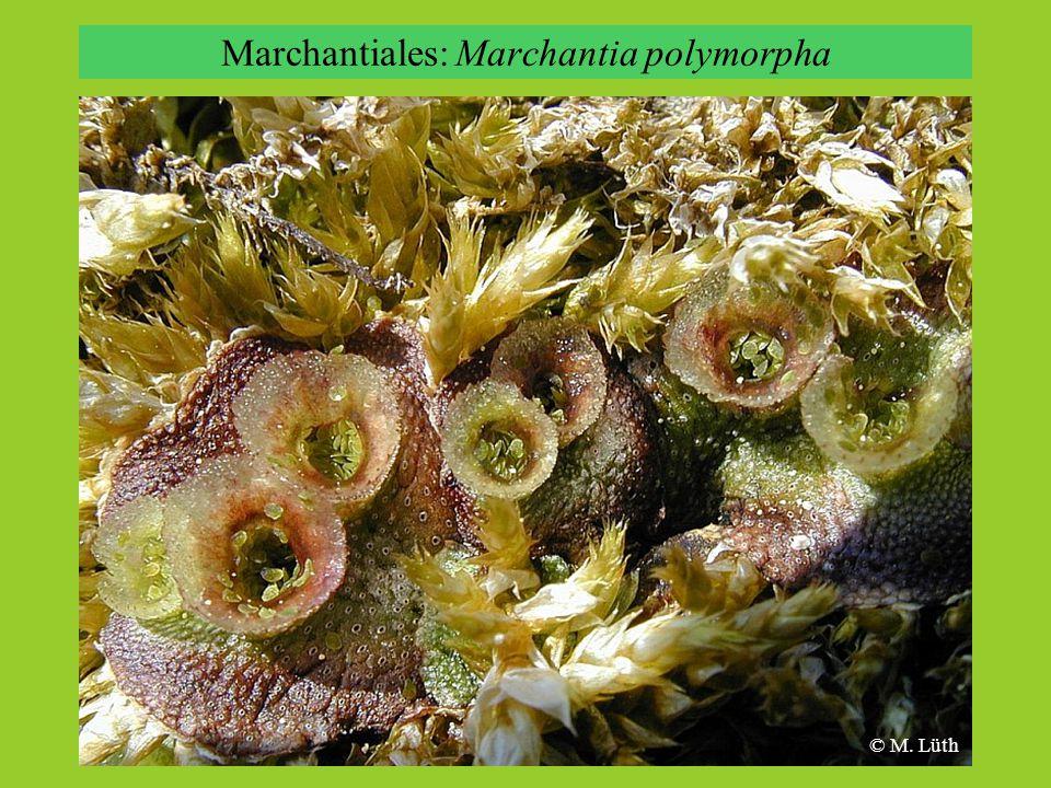 © M. Lüth Marchantiales: Marchantia polymorpha