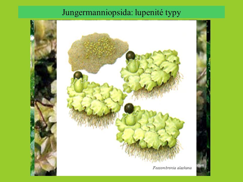 Jungermanniopsida: lupenité typy Aneura pinguis, © David S. Rycroft Metzgeria hamata Hymenophytum flabellatum Fossombronia alaskana