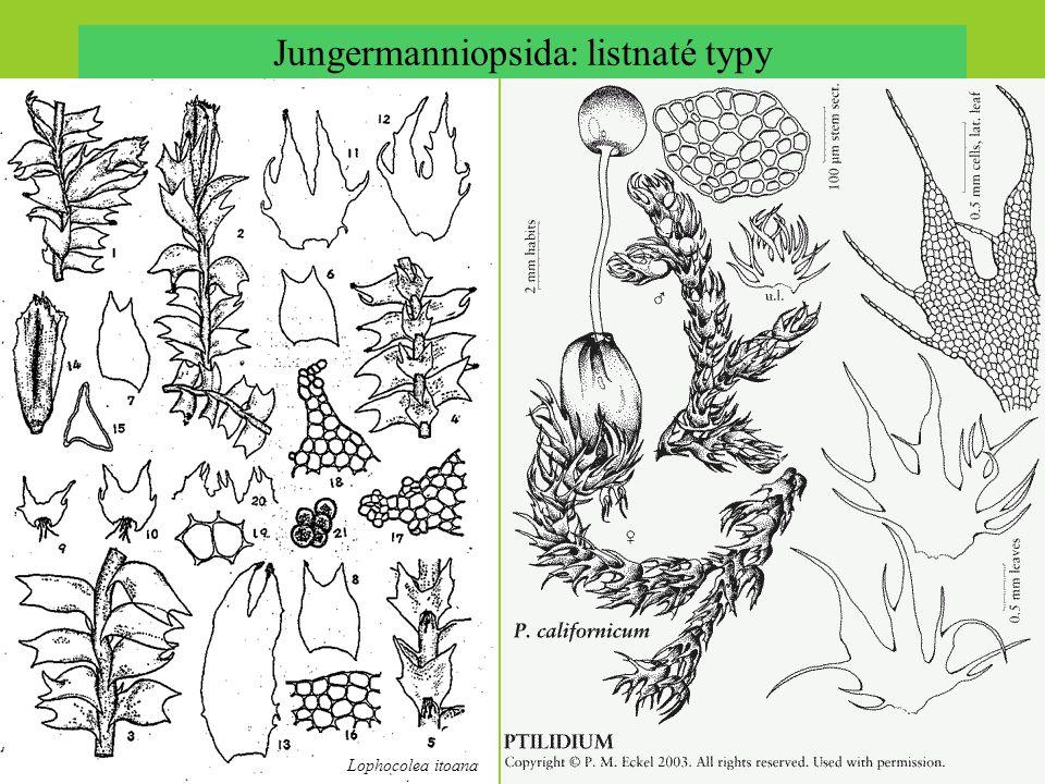 Jungermanniopsida: listnaté typy Lophocolea itoana
