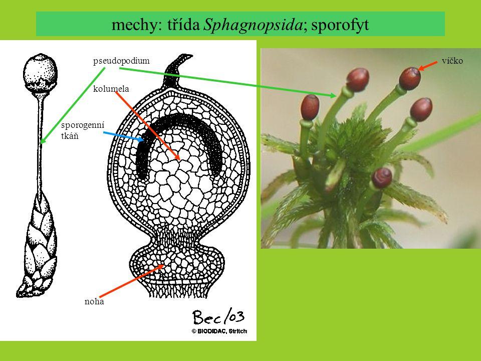 mechy: třída Sphagnopsida; sporofyt pseudopodium kolumela noha sporogenní tkáň víčko