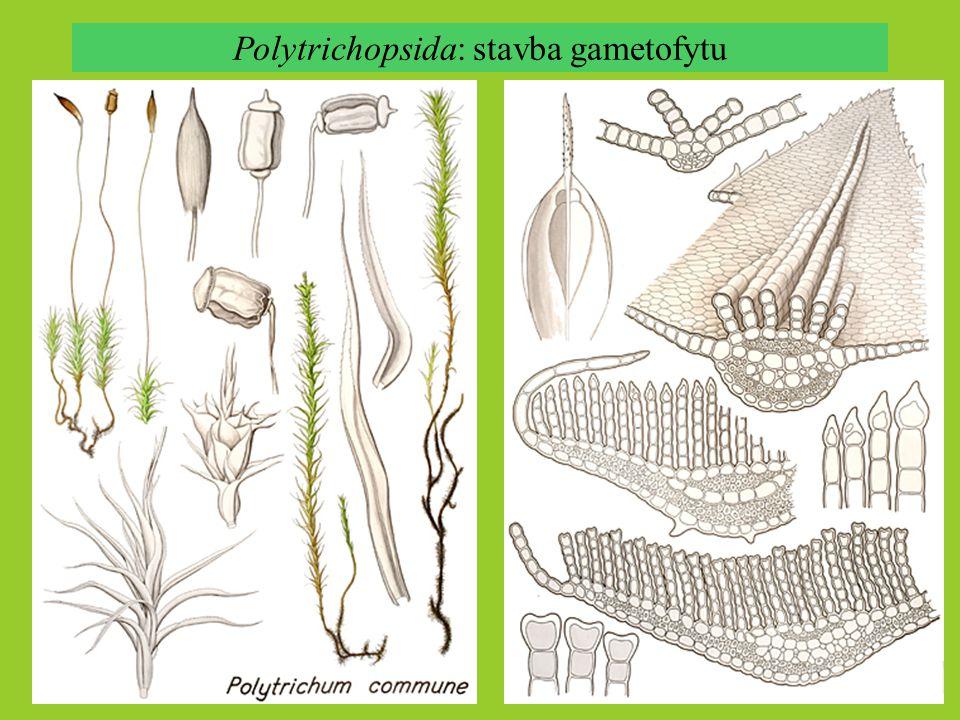 Polytrichopsida: stavba gametofytu