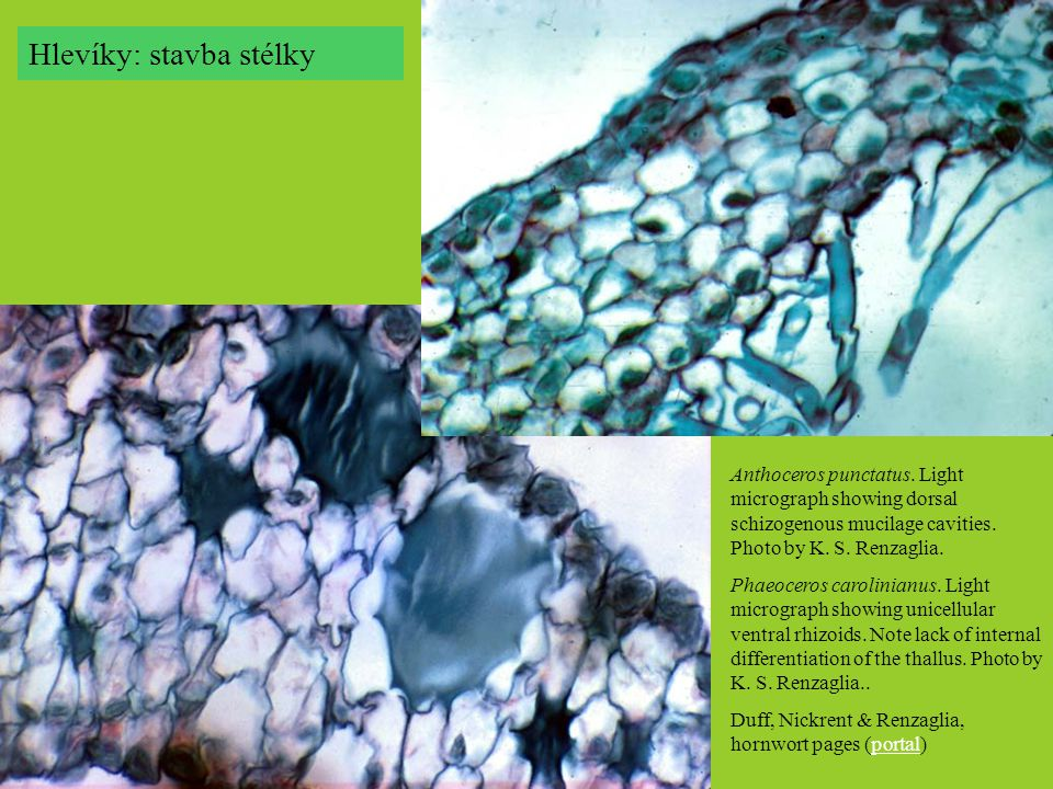 Anthoceros punctatus.Light micrograph showing dorsal schizogenous mucilage cavities.
