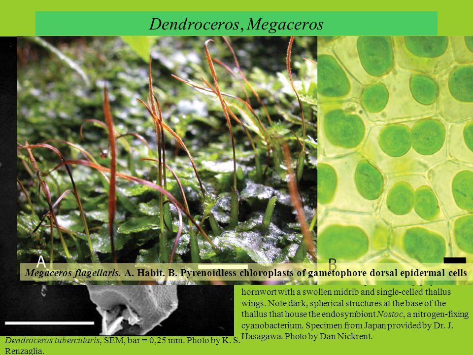 Dendroceros tubercularis, SEM, bar = 0,25 mm.Photo by K.