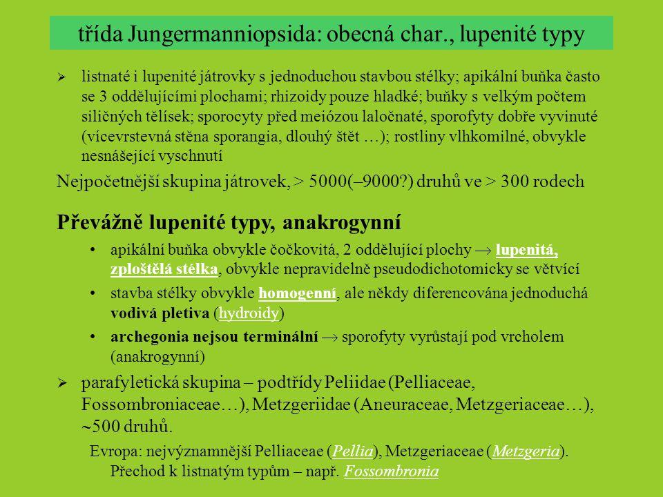 třída Jungermanniopsida: obecná char., lupenité typy  listnaté i lupenité játrovky s jednoduchou stavbou stélky; apikální buňka často se 3 oddělující