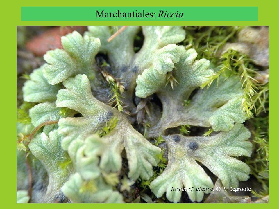Jungermanniopsida: lupenité typy Metzgeria hamata Fossombronia alaskana