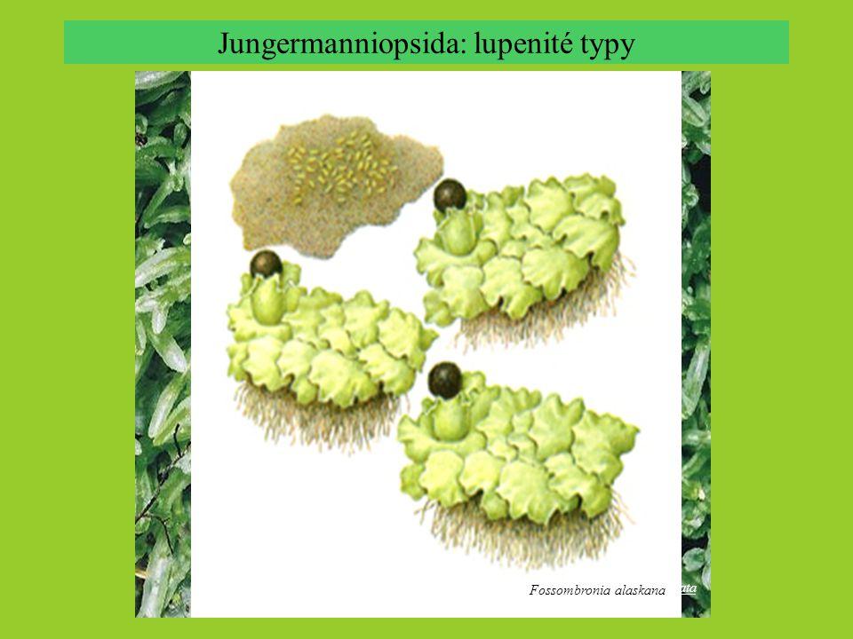 Jungermanniopsida: stavba stélky Aneura sharpii Pallavicinia sp., svazek hydroid