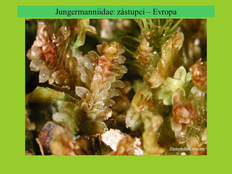 Diplophyllum albicans Jungermanniidae: zástupci – Evropa