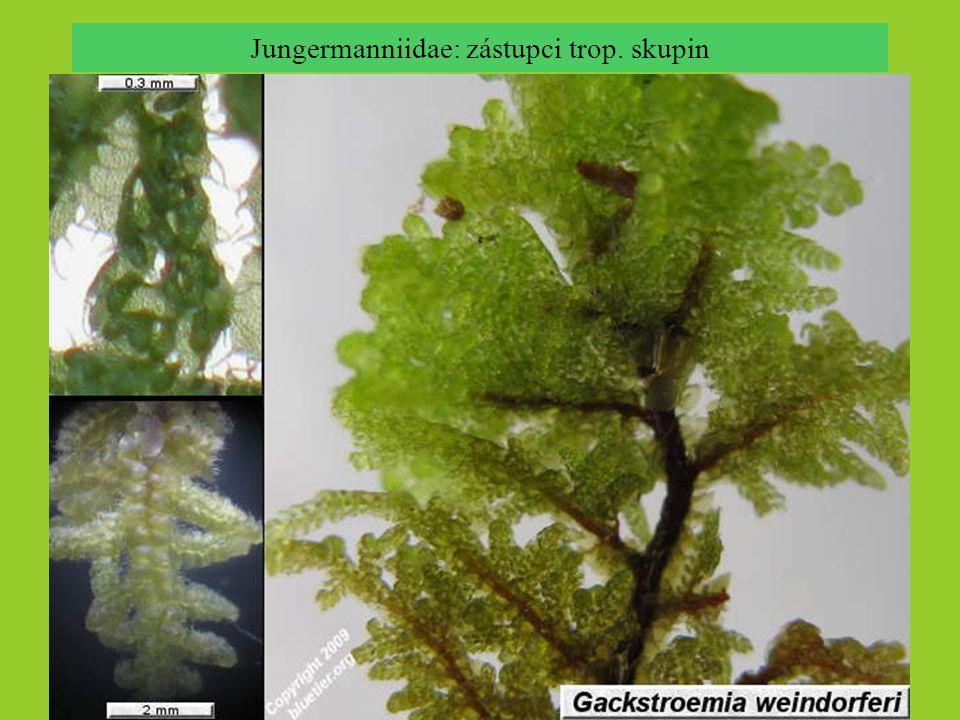Jungermanniidae: zástupci trop. skupin Frullania pycnantha, © Matt von Konrat, 2004