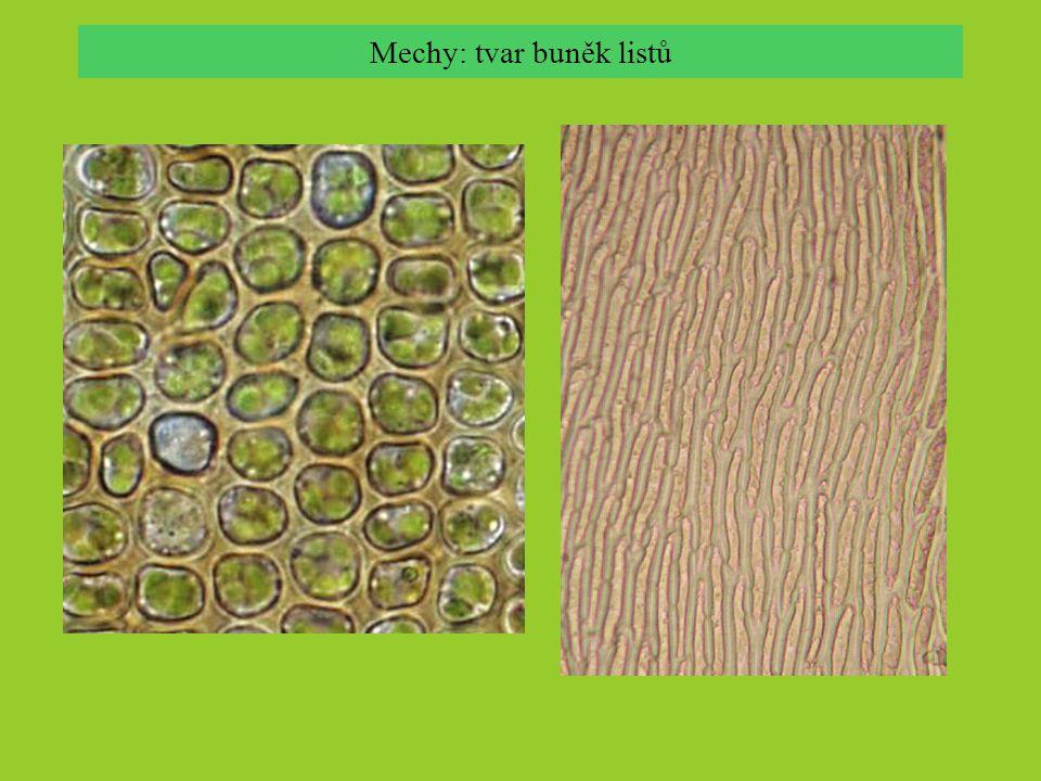 Mechy: tvar buněk listů