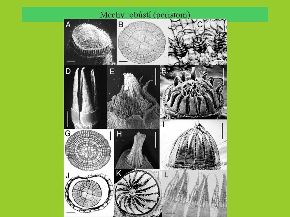 mechy: třída Sphagnopsida; gametofyt chlorocytyhyalocyty pórseptum