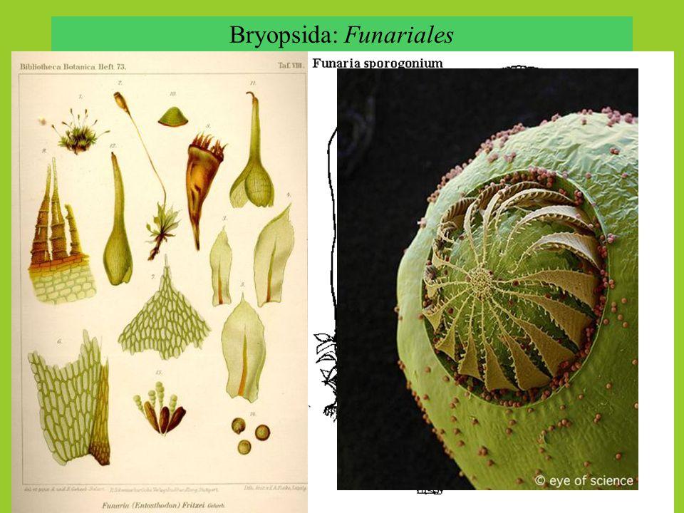 Bryopsida: Dicranidae Leucobryum glaucum