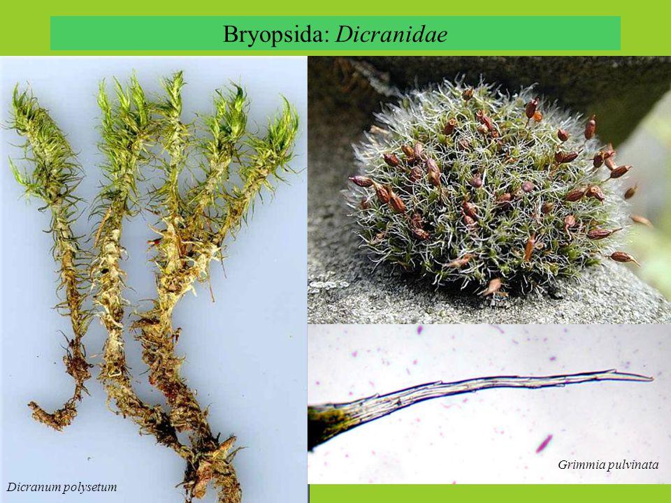 Bryopsida: Dicranidae Dicranum polysetum Grimmia pulvinata