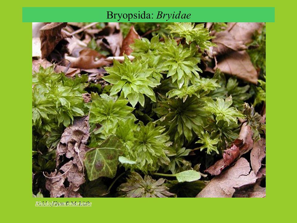Bryidae: sporofyt Bryum sp., sporophyte © Z. Iwatsuki