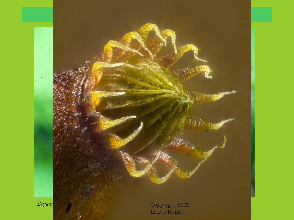 Bryidae: Splachnaceae Splachnum luteum, Foto: Lena Eriksson Splachnum ampullacum, Foto: Michael Lüth