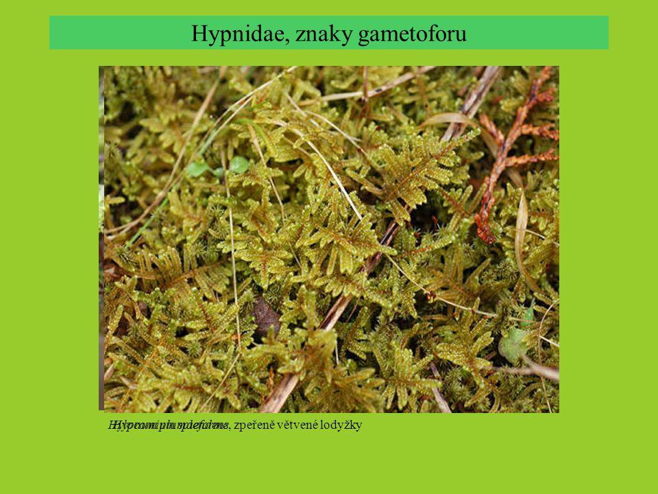 Hypnidae, znaky gametoforu Hylocomium splendens Hypnum plumaeforme, zpeřeně větvené lodyžky
