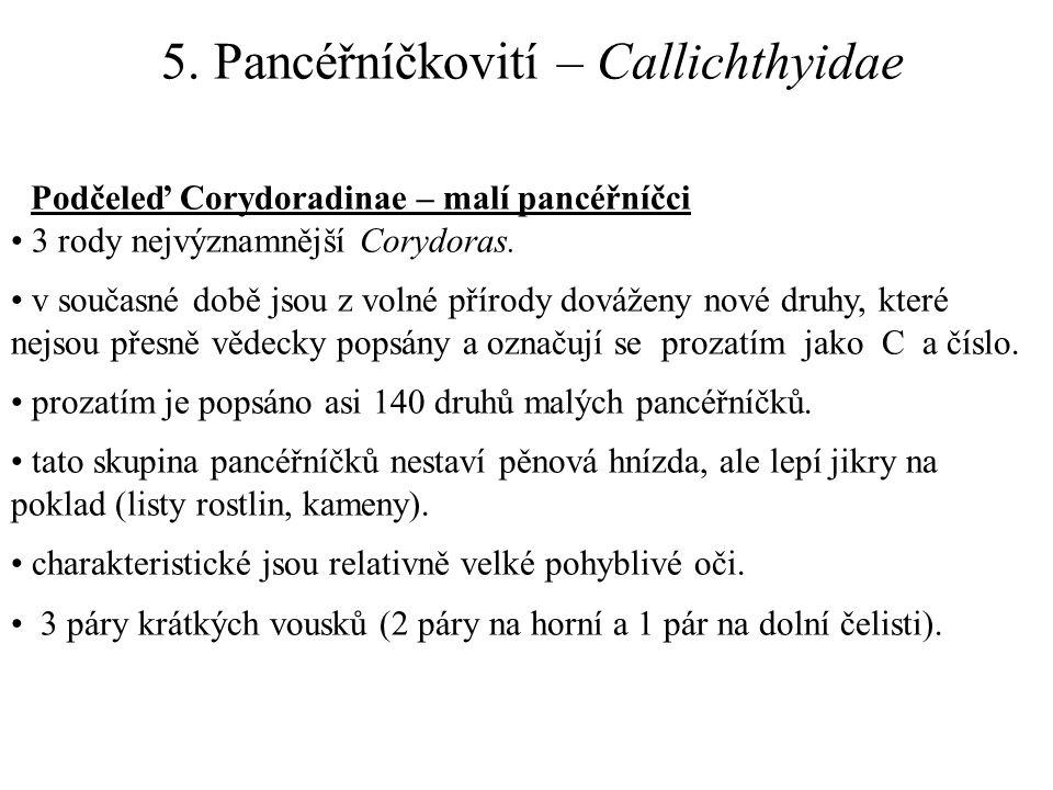 5. Pancéřníčkovití – Callichthyidae Podčeleď Corydoradinae – malí pancéřníčci 3 rody nejvýznamnější Corydoras. v současné době jsou z volné přírody do