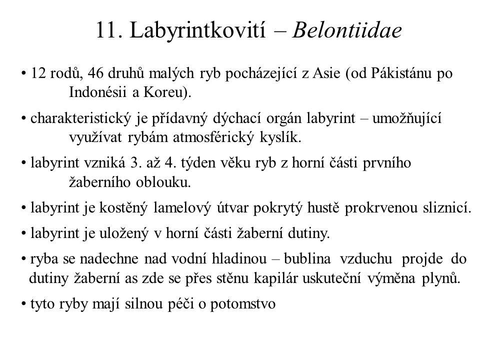 11. Labyrintkovití – Belontiidae 12 rodů, 46 druhů malých ryb pocházející z Asie (od Pákistánu po Indonésii a Koreu). charakteristický je přídavný dýc