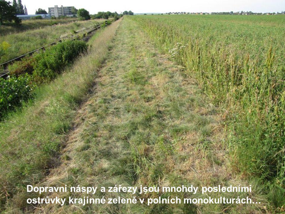 Dopravní náspy a zářezy jsou mnohdy posledními ostrůvky krajinné zeleně v polních monokulturách…