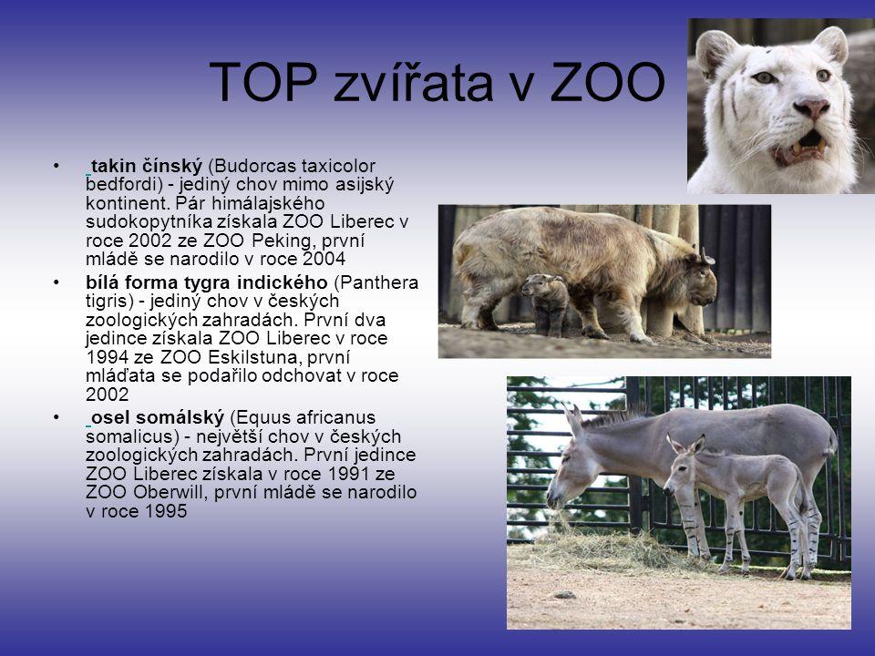 TOP zvířata v ZOO takin čínský (Budorcas taxicolor bedfordi) - jediný chov mimo asijský kontinent.