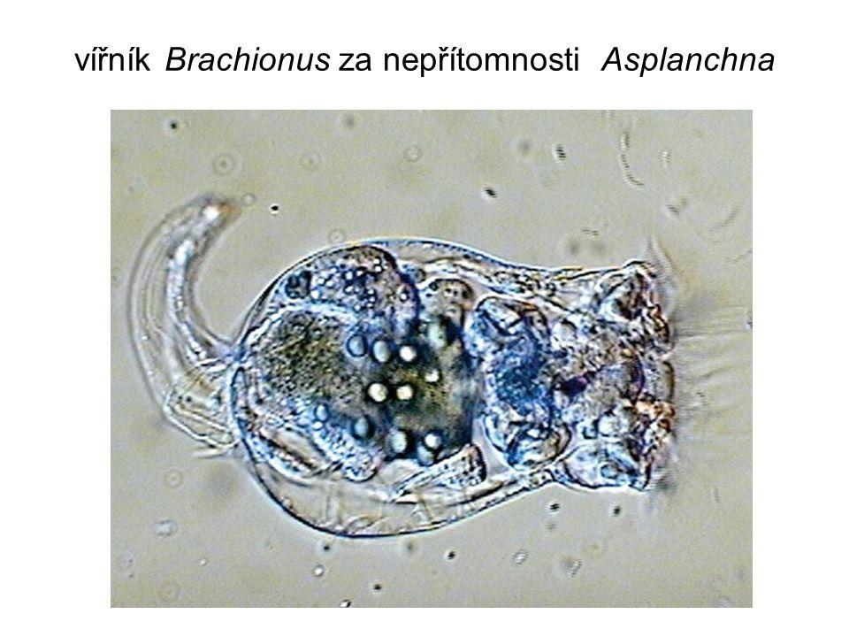vířník Brachionus za nepřítomnosti Asplanchna
