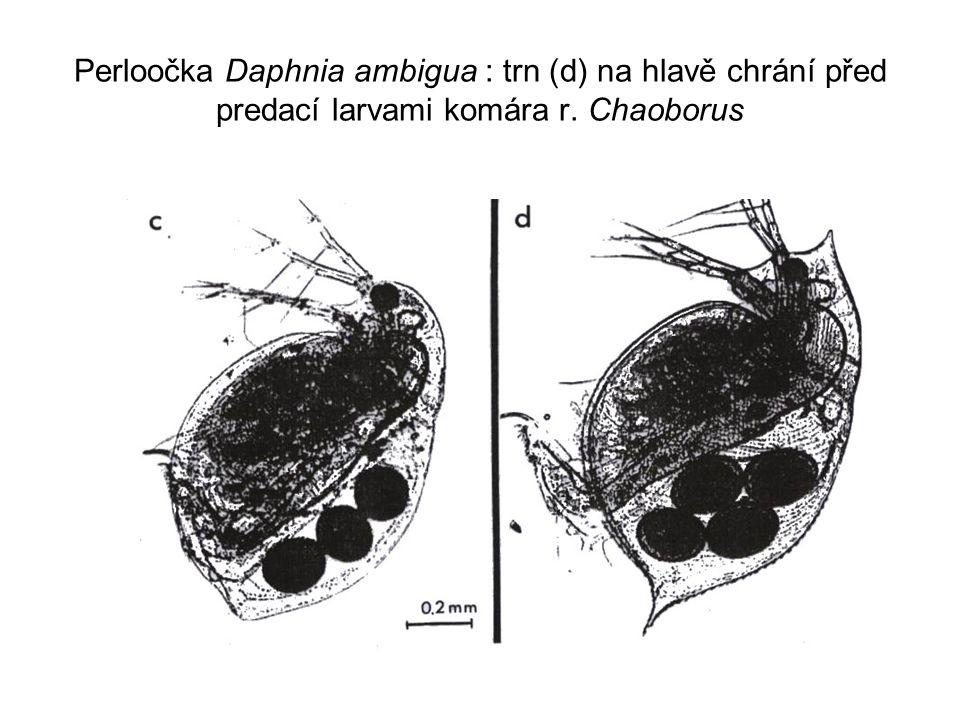 Perloočka Daphnia ambigua : trn (d) na hlavě chrání před predací larvami komára r. Chaoborus