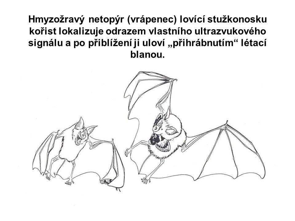 """Hmyzožravý netopýr (vrápenec) lovící stužkonosku kořist lokalizuje odrazem vlastního ultrazvukového signálu a po přiblížení ji uloví """"přihrábnutím"""" lé"""
