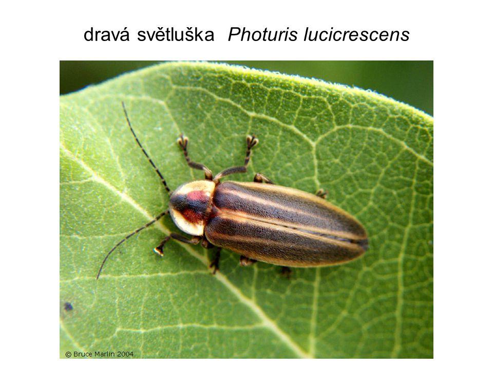 dravá světluška Photuris lucicrescens