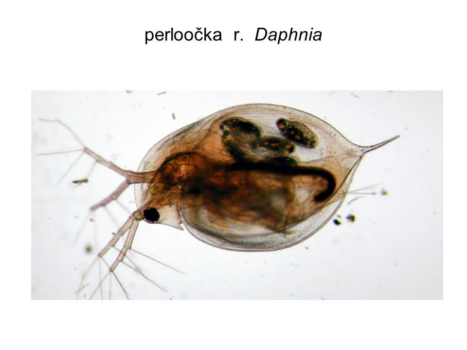 Strategie a taktika v obraně kořisti př.: pro planktonní korýše (např.