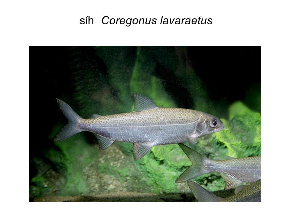 Selektivní role predace Další podobné situace: - Vanni et al.(1990) v jezeře Mendota po úhynu planktonofágních ryb : v jezeře Mendota (Wisc., USA) došlo koncem léta k masovému úhynu planktonožravého síha Coregonus artedii – pokles z 239 na 13 kg.ha -1, kromě zásadní změny zooplanktonu (viz obr.) také výrazný pokles biomasy fytoplanktonu a zejména nízké zastoupení sinic, které jinak jsou hojné od června do podzimu