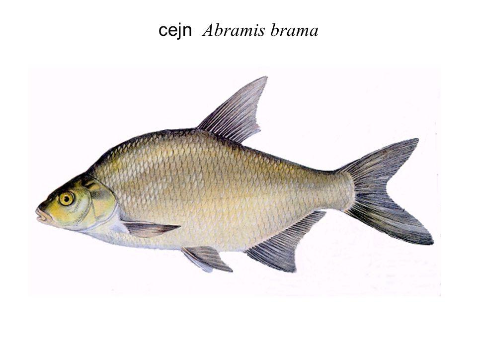 ouklej Alburnus alburnus