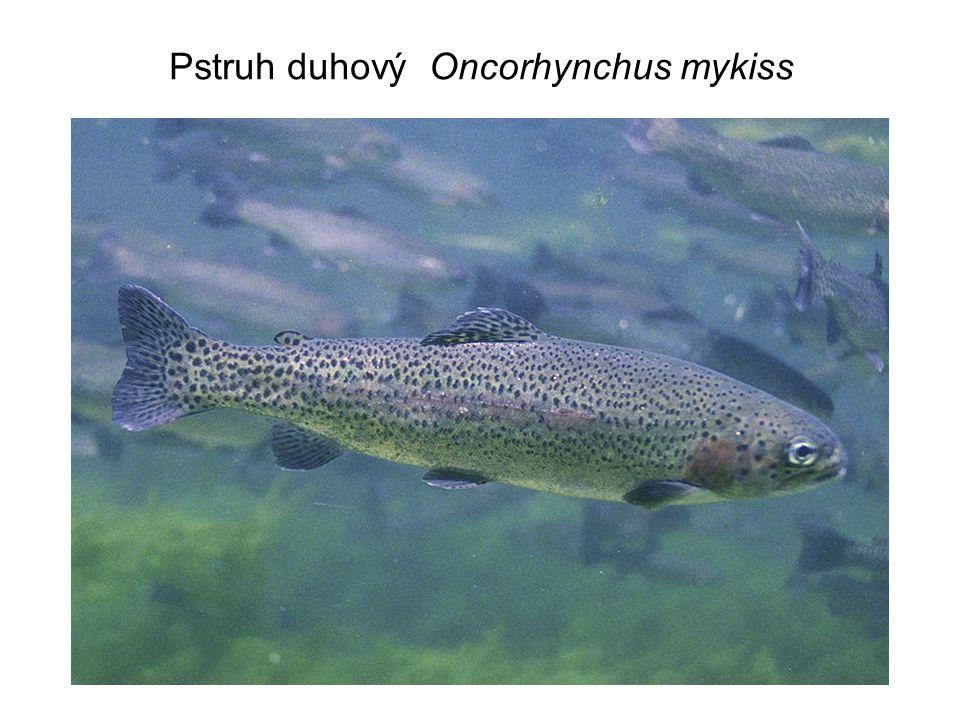 Společenstvo o 4 potravních úrovních: dravé ryby planktonožravé ryby v malém množství zooplankton – velké druhy fytoplankton – silně produkující, ale o malé hustotě