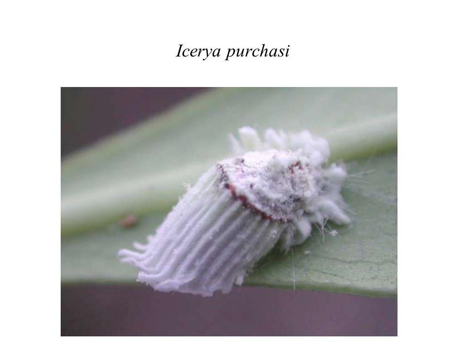 Icerya purchasi