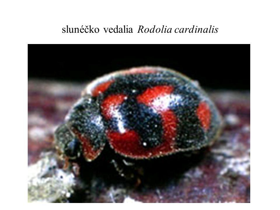 slunéčko vedalia Rodolia cardinalis