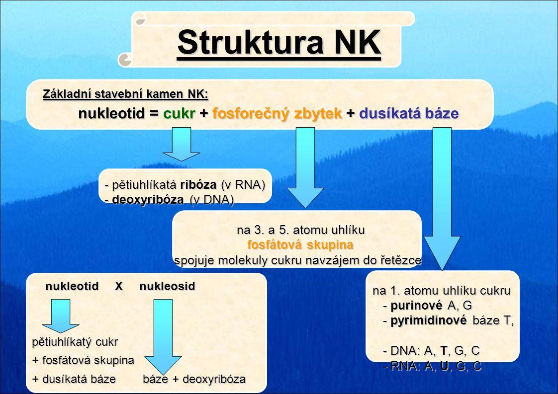 Struktura NK - pětiuhlíkatá ribóza (v RNA) - deoxyribóza (v DNA) - deoxyribóza (v DNA) na 3. a 5. atomu uhlíku na 3. a 5. atomu uhlíku fosfátová skupi