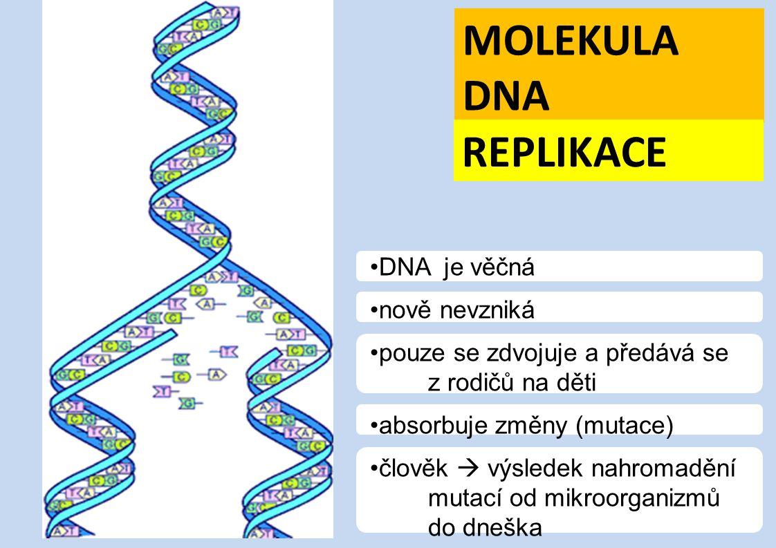MOLEKULA DNA REPLIKACE DNA je věčná nově nevzniká pouze se zdvojuje a předává se z rodičů na děti absorbuje změny (mutace) člověk  výsledek nahromadě